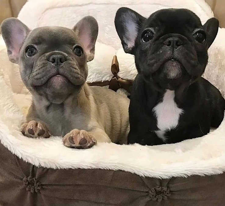 Does the French Bulldog Make a Good Family Pet?