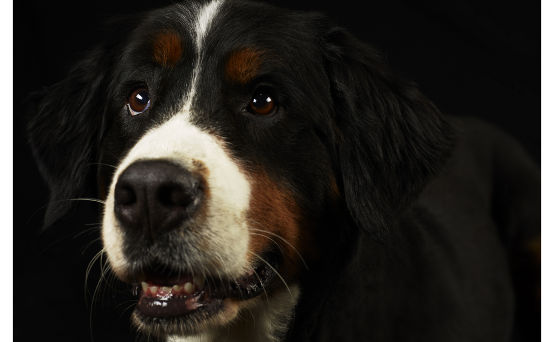 Does The Bernese Mountain Dog make a Good Family Pet ?