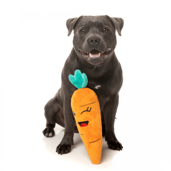 Staffy with carrot dog toy